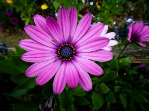 purple gerbera daisy seeds from seedville